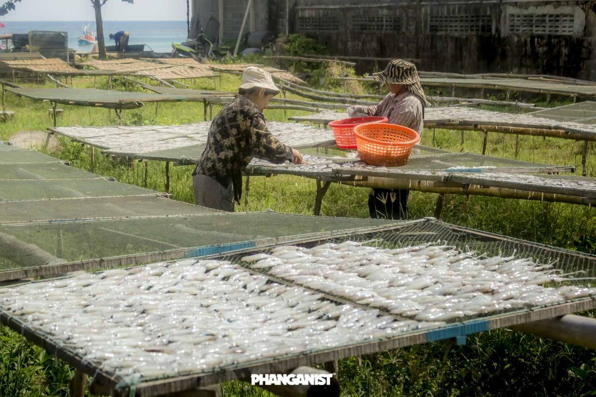 Squid drying in Chaloklum, Koh Phangan