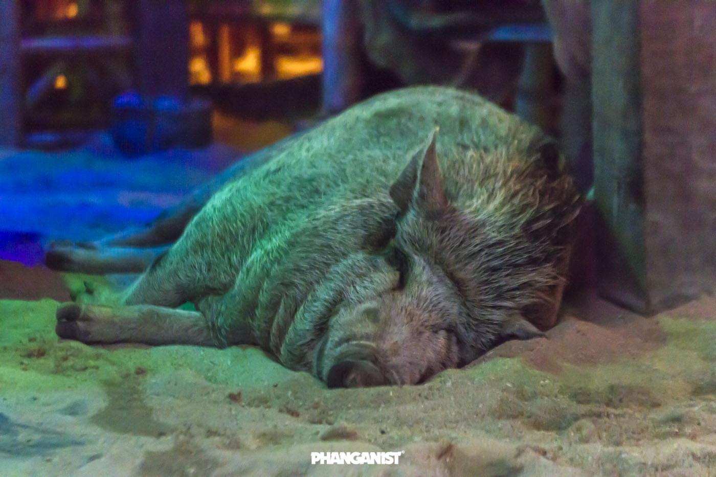 Happy free pig on Koh Phangan