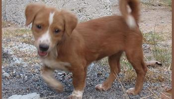 phangan puppies, dog, puppy, home, looking, searching, seeking, donation